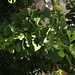 Ein tropisches Gewächs - Baum des Ginkgo - Danke Peter!