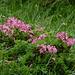 Im Ruederkar blüht die Alpenrose.