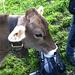 verschmuste Kuh