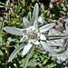 Edelweiss (Leontopodium nivale)...wunderbar