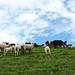 Schafe auf dem Hochmatt