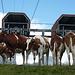 Kühe warten vergeblich auf die nächste Fahrt