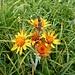 Orangerotes Greiskraut