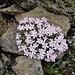 Alpen-Mannsschild (Androsace alpina) oder Weichhaariger Mannsschild (A. pubescens)?