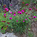 Am Wegrand Karthäuser-Nelken (Dianthus carthusianorum)
