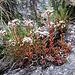 An gleicher Stelle der Dickblättrige Mauerpfeffer (Sedum dasyphyllum).....