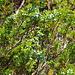 Im Abstieg nach Flesche hat es massenhaft Wacholder. Aber aufgepasst: diese Art ist giftig! Sefistrauch (Juniperus sabina)