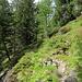 Aufstiegsweg von Arolla durch Pinien und Lärchenwald