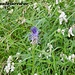 Herrliche Blumenvielfalt am Wegesrand - Teufelskralle