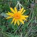 Herrliche Blumenvielfalt am Wegesrand - Arnika