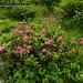 Der Almrausch steht noch in voller Blüte