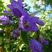 Noch ein paar Bilder von andl: Irgendeine Art Glockenblume