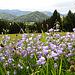 Glockenblumenbouquet mit Staufner Berg