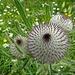 schon vor der Blüte von spezieller Schönheit: Kratz-Distel