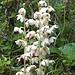 Das Rundblättrige Wintergrün (Pyrola rotundifolia), im Aufstieg zur Drei-Zinnen-Hütte könnte man Sträusse davon machen!