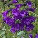 Häufig in den Dolomiten: das Drachenmaul (Horminium pyrenaicum)