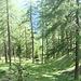 Lärchenwald oberhalb von Lü