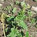 Chenopodium bonus-enricus, Spinacio selvatico
