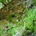 Gleich nach den 3 Bäumen beginnt unscheinbar der direkte Weg nach Scengio di Vacche nach rechts hoch
