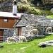 Schafe auf Alpe di Visghed