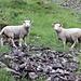 Die Schafe können sich im gesamten oberen Talkessen frei bewegen.