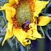 Noch mal eine Hummel in einer Sonnenblume