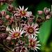 Die Blüten einer Hauswurz