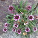 Alpen-Berufkraut (Erigeron alpinus)