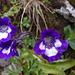 Das Dünnspornige Fettblatt (Pinguicula leptoceras) mit fantastischen Farben!