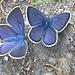 Prächtige Rotkleebläulinge (Polyommatus semiargus)