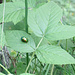 Grüner Käfer auf grünem Blatt