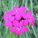 Garofano dei certosini (Dianthus carthusianorum)