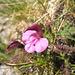 Un fenicottero con il bavaglino... (Pedicularis kerneri)