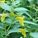 trichterförmige Blüten an dünner Schnur