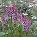 Eine schöne Gruppe der Wohlriechenden Handwurz (Gymnadenia odoratissima)