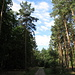 Typischer Weg im Grunewald, hohe Kiefern und Laubbäume.