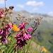 Alpensüssklee & Zottiges Habichtskraut