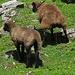 Die Schafe schenken mir eher wenig Beachtung