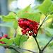Früchte eines Roter Holunder , Danke [u Murgl]