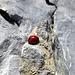 Wer hätte es gedacht: Auch Marienkäfer erklimmen gerne steile Gipfel