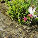 Die Heidorose (Rhododendron ferrugineum heidoicus)