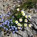 Alpen-Vergissmeinnicht (Myosotis alpestris) und Berg-Margerite (Leucanthemum adustum)