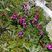 Schon wieder eine botanische Rarität: Kerners Läusekraut (Pedicularis kerneri)