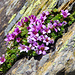 Vermutlich der Gegenblättrige Steinbrech (Saxifraga oppositifolia)