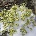 Neuschnee macht diesen Blumen nicht viel.