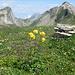 schließlich ein Trollblumen-Bouquet am höchsten Punkt der Tour
