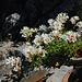 Saxifraga geranioides, ein Pyrenäen-Endemit