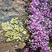 Leben auf über 3000 Metern Höhe: Gelbe Flechte und violette Blume.