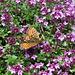Schmetterling und Hummel geniessen gemeinsam den Nektar
