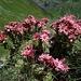 Prachtvolle Alpenflora